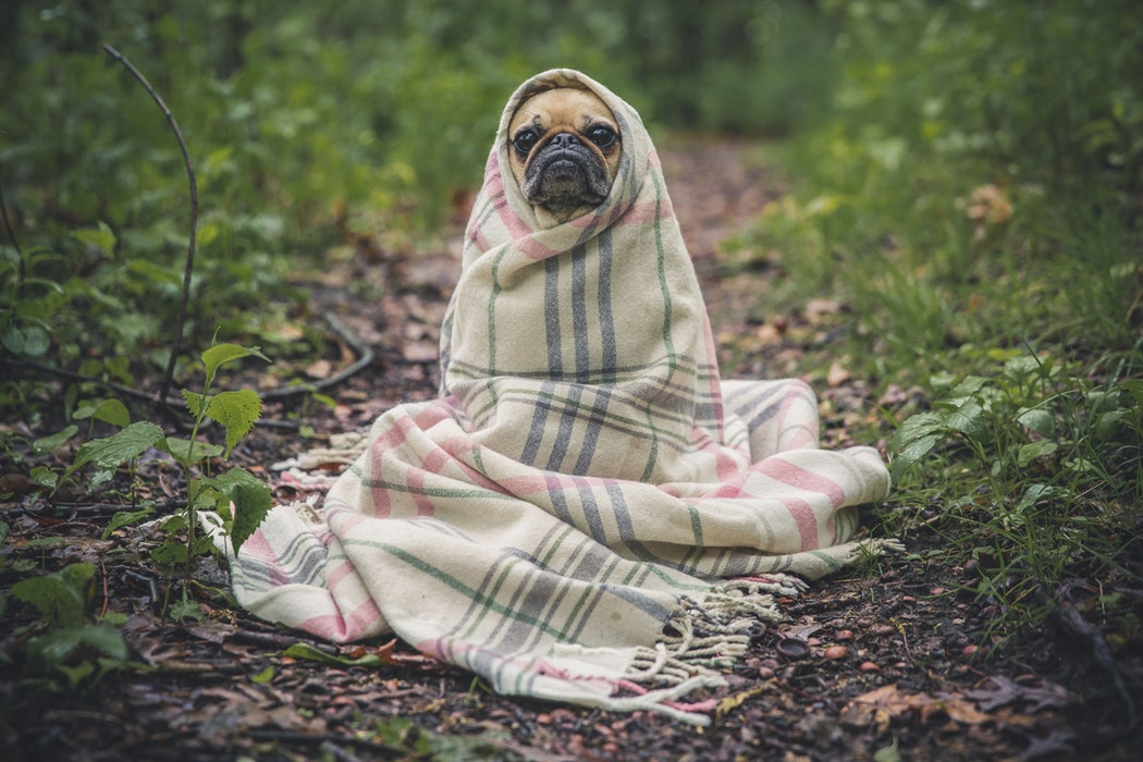 dog in the blanket